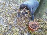 Castagne-raccolto-difficile-ma-forse-ci-siamo-liberati-del-Cinipide_articleimage.jpg