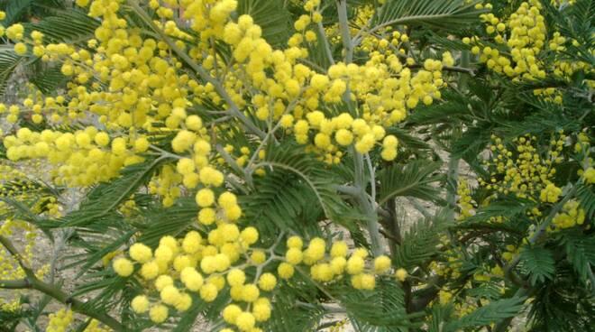 mimosa_festa_della_donna.jpg