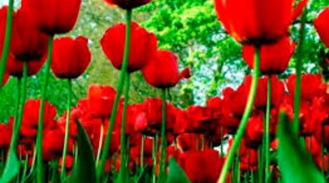 tulipanirossi.jpg