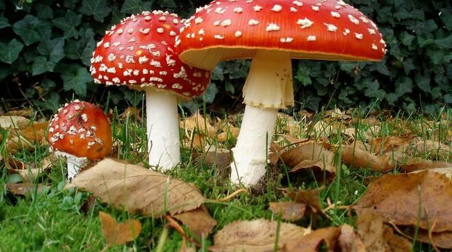 amanita-muscaria-classico-fungo-velenoso.jpg