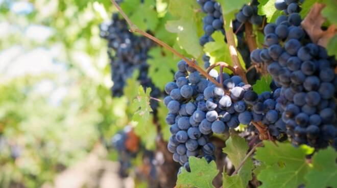 viticoltura.PNG