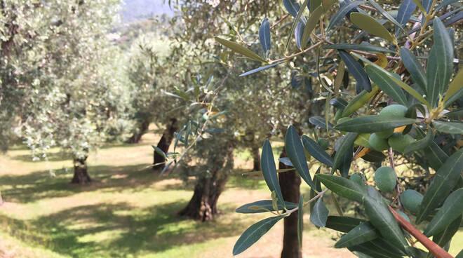 olivo-quercetano_IMG_6660.jpg