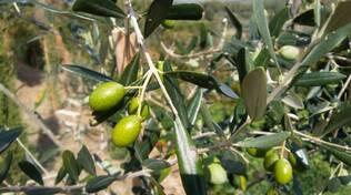olivo-olive-olivicoltura-by-matteo-giusti-agronotizie-jpg.jpg