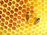 api-come-producono-miele.jpg
