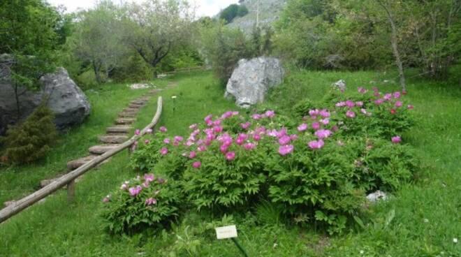 paeonia-officinalis-le.jpg