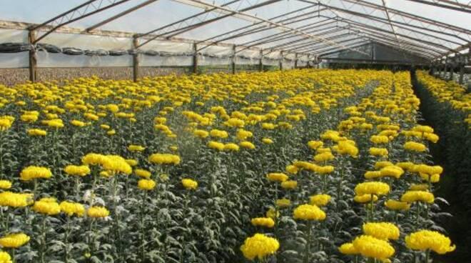 serracrisantemi.jpg