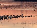 padule fucecchio censimento uccelli gennaio 2020