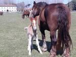 cavalli nati al parco di san rossore