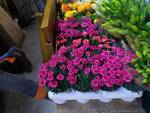 Pescia dona fiori a Camporgiano