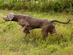 cane da ferma cacciatori comprensorio Cuoio