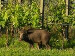 cinghiale fra le case a Balbano