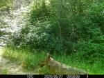 lupi san miniato 18 luglio 2020