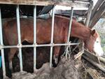 cavalli in strutture non idonee salvati dai carabinieri di empoli