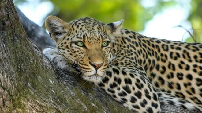 leopardo felino