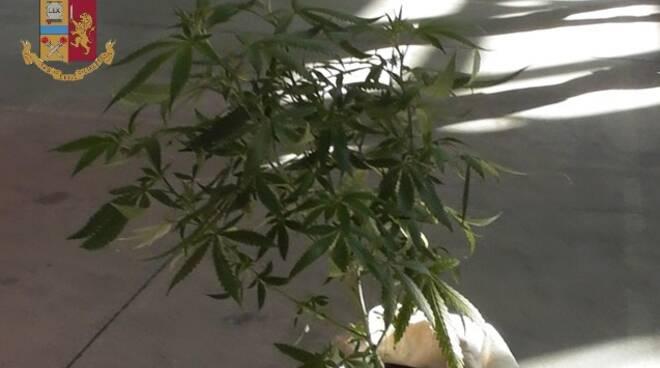 pianta infiorescenze marijuana detenzione spaccio Tattoo Expo