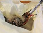 recupero lipu fauna selvatica castelfranco di sotto