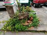 Albero caduto Montefegatesi