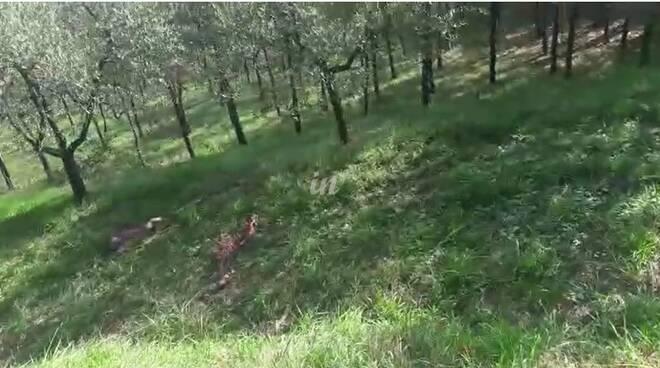 carcasse di animali sbranati nelle campagne di San Miniato