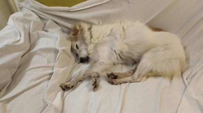 Gilda cane scomparso a Torre del Lago