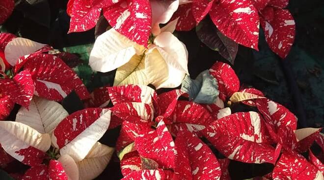 Stelle di Natale Coldiretti