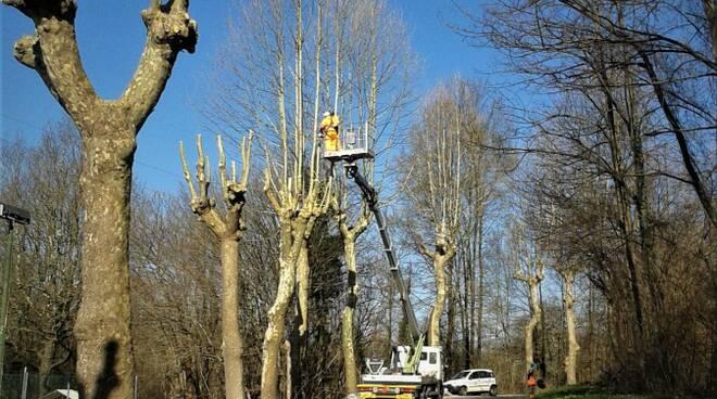 taglio alberi via per Camaiore