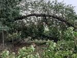 albero caduto ai chiariti