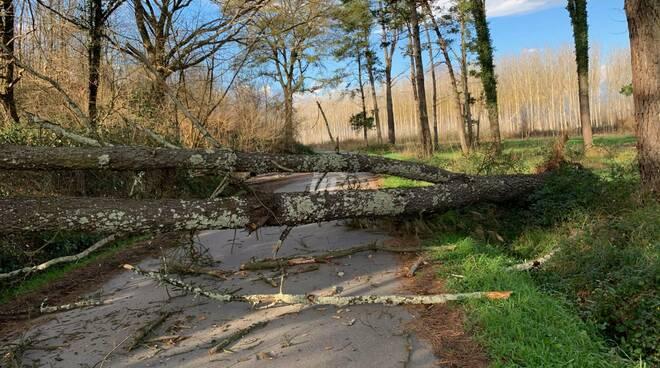 albero caduto in via Salanova nel comune di Fucecchio tra Querce e Massarella