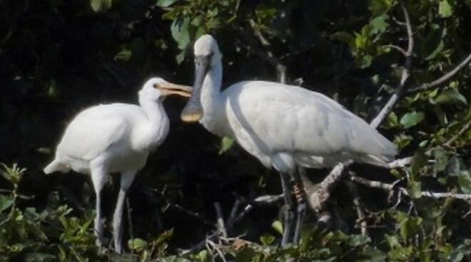 mignattaio uccello lago di Sibolla Wwf