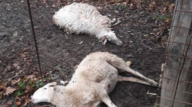 Pecore sbranate Garfagnana Coop