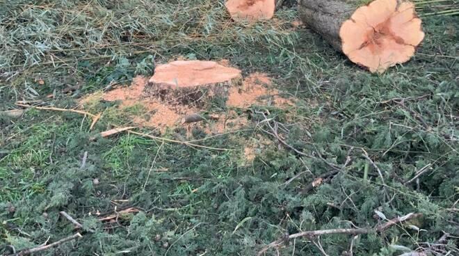 alberi tagliati a Marlia