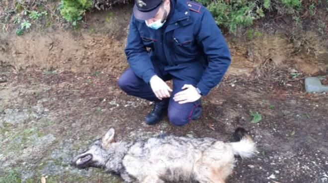 lupo morto a Pescia