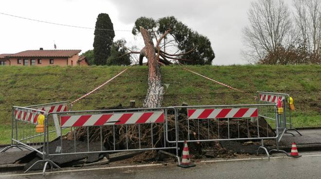 Maltempo, cade un albero a Santa Croce sull'Arno