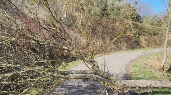 albero caduto sulla strada che da Cusignano scende verso Cafaggio san miniato
