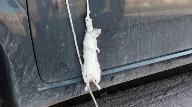 ratto appeso specchietto Pietrasanta