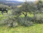 olivo vandalizzato