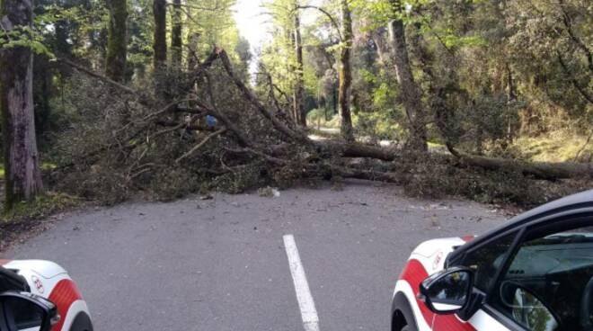 albero caduto sul viale dei tigli a viareggio