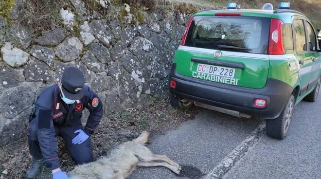cane morto ciglio strada località Collina Pistoia carabinieri forestali