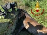 cavallo brando nel fossato a Pontedera