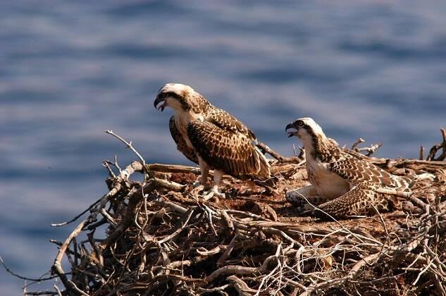 nidificazione isola di capraia