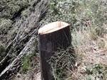 Cipressi tagliati in via Bucciano a San Miniato
