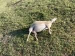 greggi sbranate Camporgiano Sillico lupi