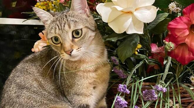 Cici gattina scomparsa a Marlia