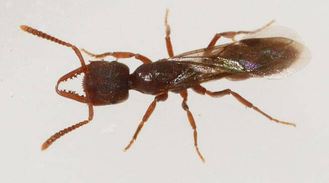 formica dracula fucecchio