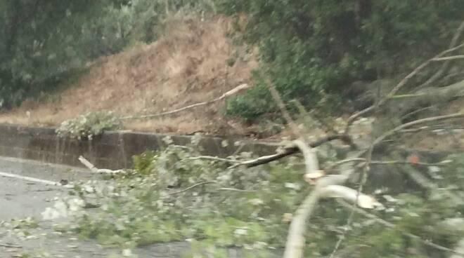 grosso tronco finisce in Fi Pi Li a Santa Croce