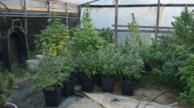 piante di marijuana sequestrate a massarosa