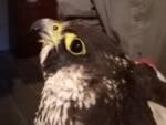 falco pellegrino ucciso Padule di Fucecchio